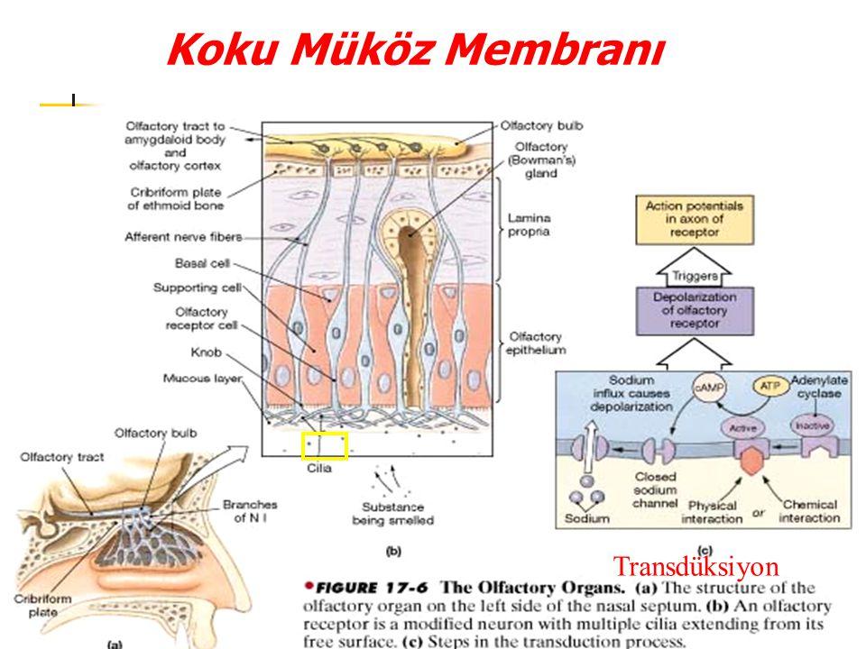 Tad Goncaları Hücrelerin tümünün boyun kısımları çevrelerindeki epitel hücrelerine sıkı kavşaklarla bağlanmış olduğundan tad reseptör hücrelerinin sıvılarla karşılaşan tek bölgesi mikrovillusların apikal taç kısmıdır Her tad goncası yaklaşık 50 sinir lifi tarafından innerve edilir Her sinir lifi ise ortalama 5 tad goncasından gelen girdileri almaktadır Bazal hücreler tad goncasını kuşatan epitel hücrelerinden doğarlar Bunlar yeni reseptör hücrelerine farklılaşır ve eski reseptör hücreleri yaklaşık 10 günlük bir yarı ömre sahip olacak şekilde sürekli yenilenir