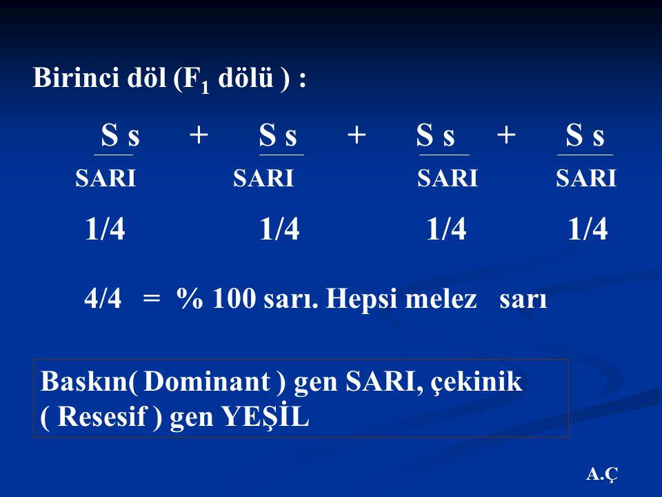 A.Ç Birinci döl (F 1 dölü ) : S s + S s + S s + S s SARI SARI SARI SARI 1/4 1/4 4/4 = % 100 sarı.