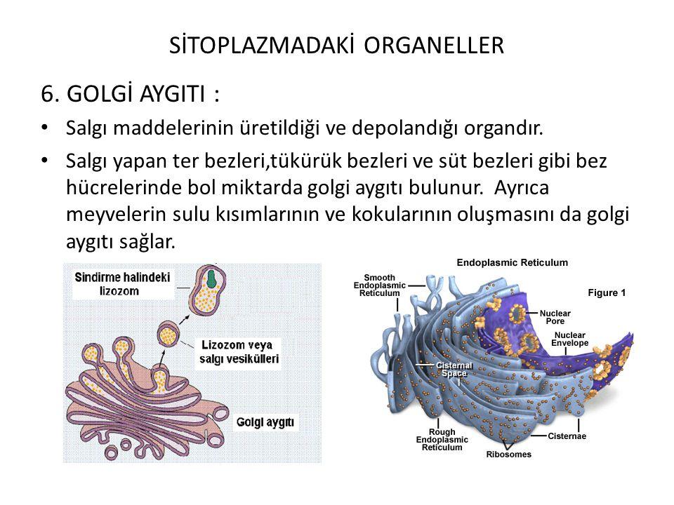 SİTOPLAZMADAKİ ORGANELLER 6. GOLGİ AYGITI : Salgı maddelerinin üretildiği ve depolandığı organdır. Salgı yapan ter bezleri,tükürük bezleri ve süt bezl