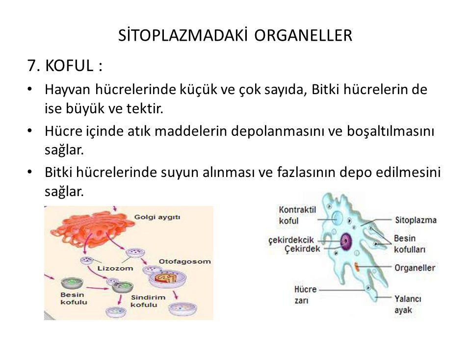 SİTOPLAZMADAKİ ORGANELLER 7. KOFUL : Hayvan hücrelerinde küçük ve çok sayıda, Bitki hücrelerin de ise büyük ve tektir. Hücre içinde atık maddelerin de