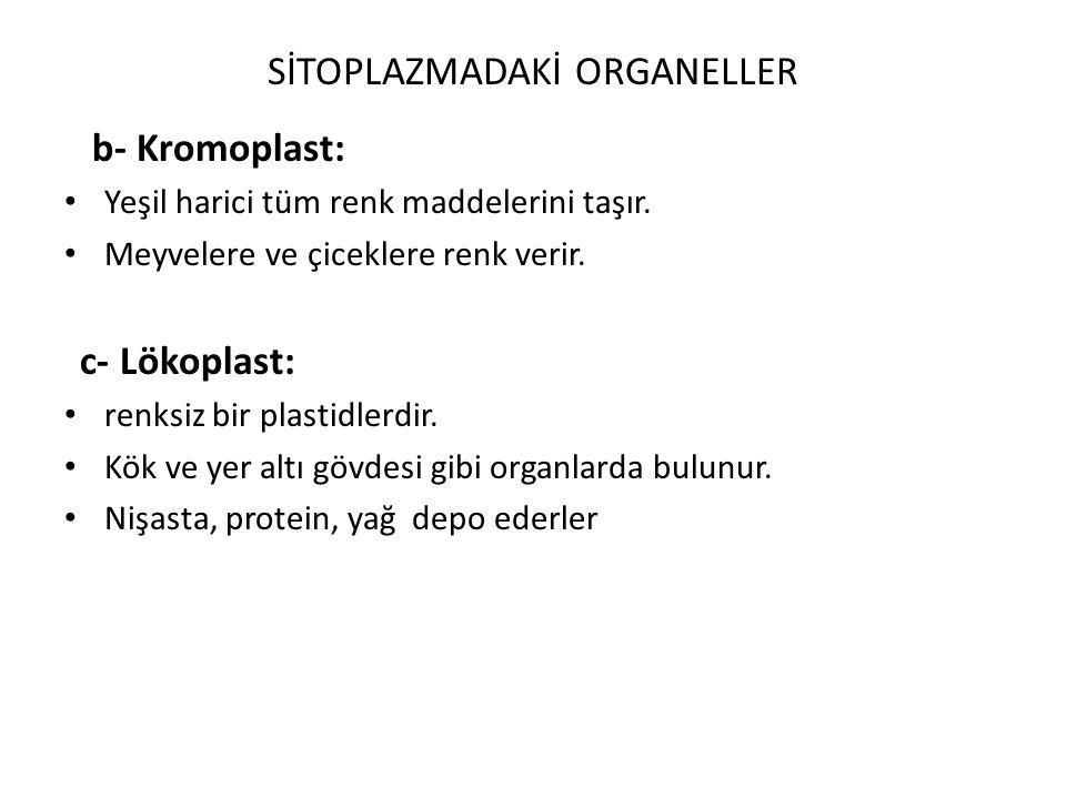 b- Kromoplast: Yeşil harici tüm renk maddelerini taşır. Meyvelere ve çiceklere renk verir. c- Lökoplast: renksiz bir plastidlerdir. Kök ve yer altı gö