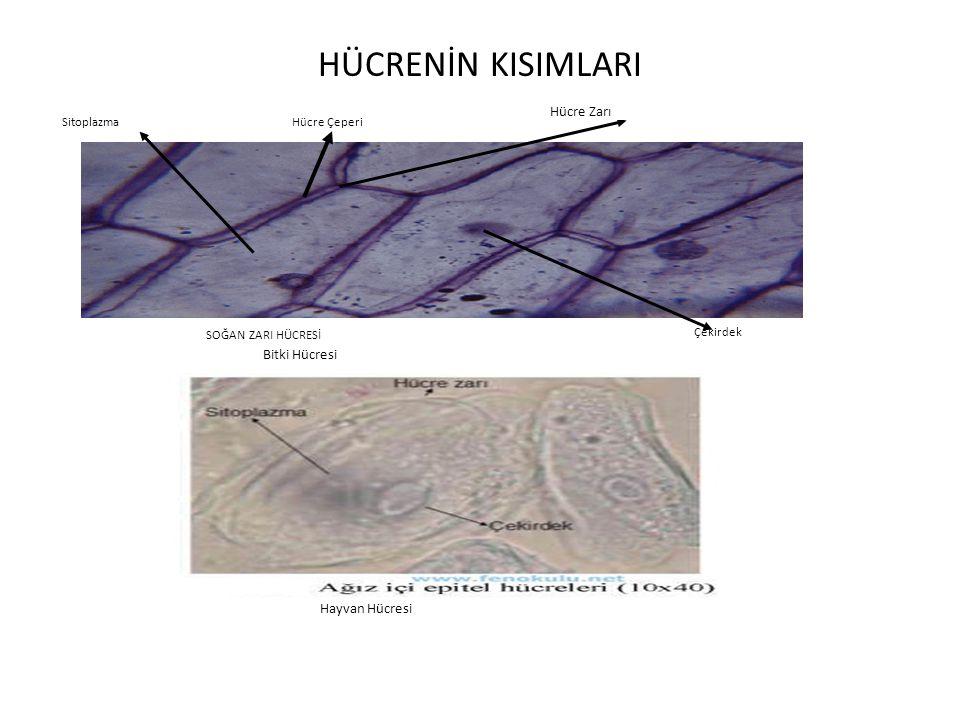 HÜCRENİN KISIMLARI SOĞAN ZARI HÜCRESİ Hücre Çeperi Hücre Zarı Çekirdek Sitoplazma Bitki Hücresi Hayvan Hücresi