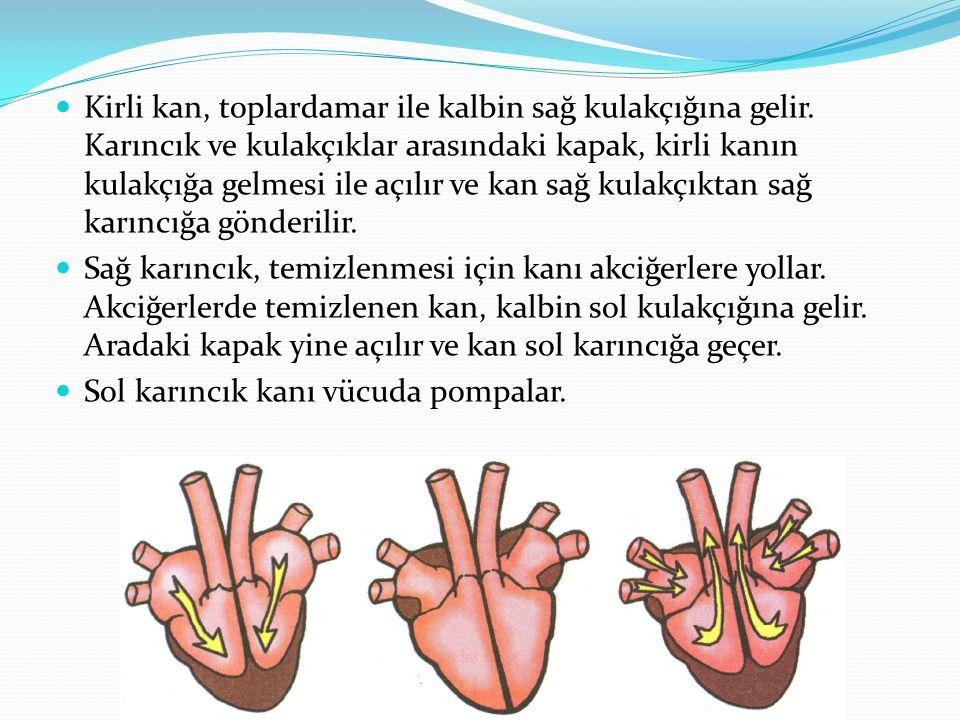 Kirli kan, toplardamar ile kalbin sağ kulakçığına gelir. Karıncık ve kulakçıklar arasındaki kapak, kirli kanın kulakçığa gelmesi ile açılır ve kan sağ