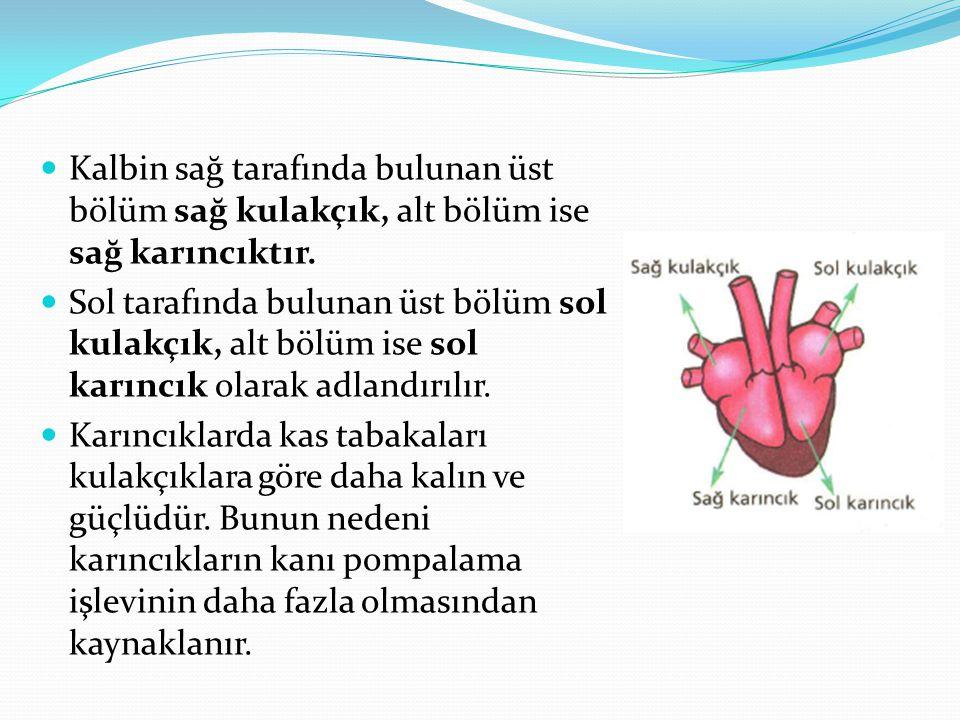 Kalbi çalıştıran kalp kası, çalışması sırasında kasılma gevşeme hareketi yapar.