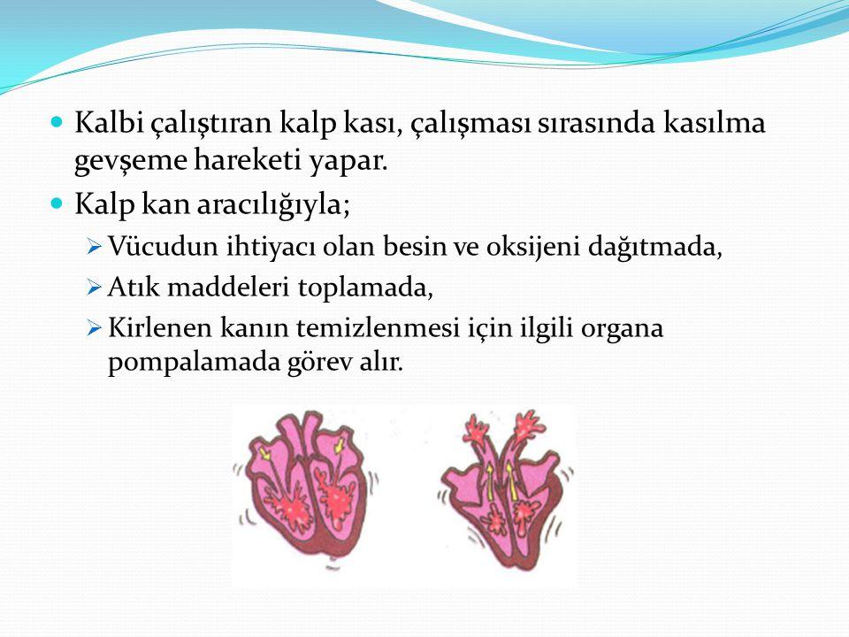 Kirli kan, toplardamar ile kalbin sağ kulakçığına gelir.
