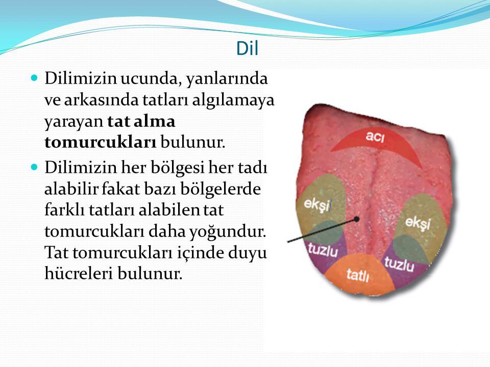 Dil Dilimizin ucunda, yanlarında ve arkasında tatları algılamaya yarayan tat alma tomurcukları bulunur.