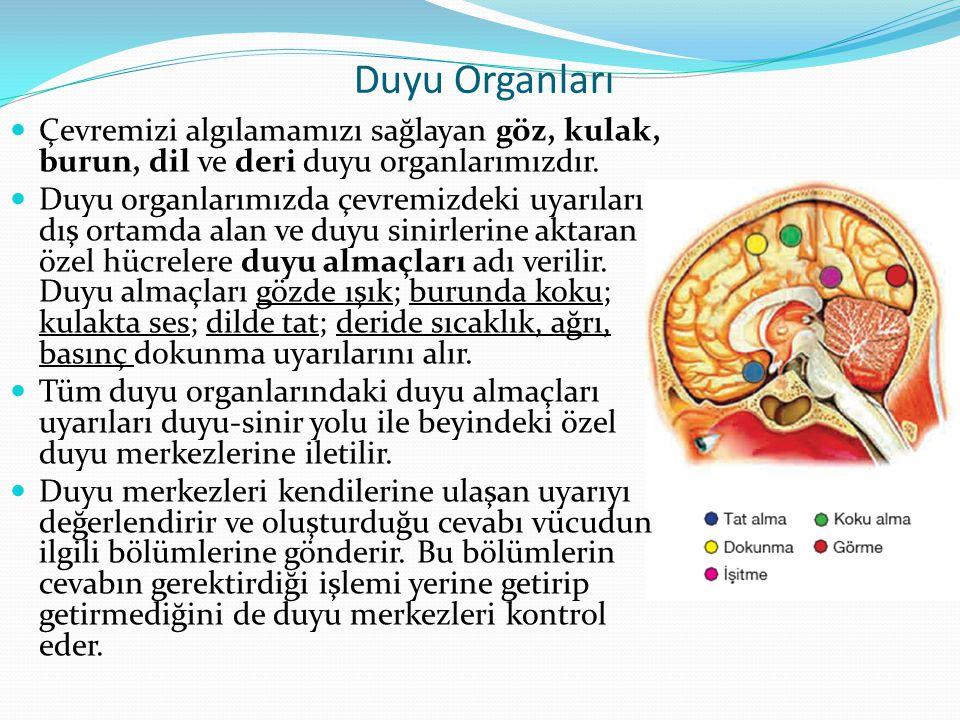 Çevremizi algılamamızı sağlayan göz, kulak, burun, dil ve deri duyu organlarımızdır.