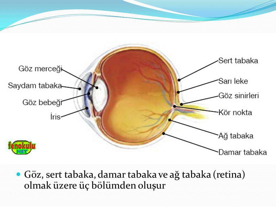 Gözün Bölümleri Sert Tabaka: Gözün dışında bulunan beyaz renkli kısımdır ve gözü dış etkilerden korur.Gözün ön kısmında farklılaşarak saydam tabakayı oluşturur.