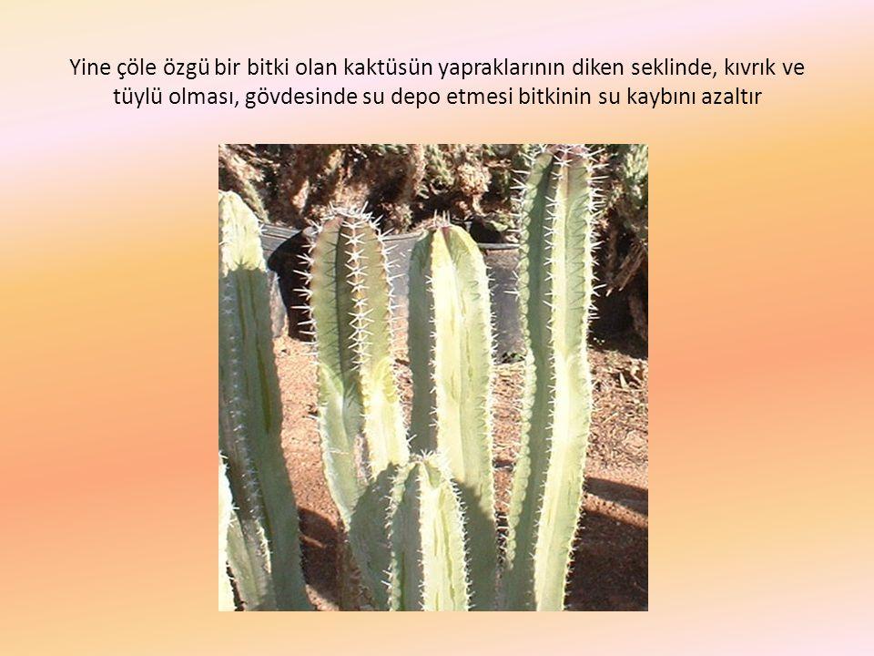 Yine çöle özgü bir bitki olan kaktüsün yapraklarının diken seklinde, kıvrık ve tüylü olması, gövdesinde su depo etmesi bitkinin su kaybını azaltır