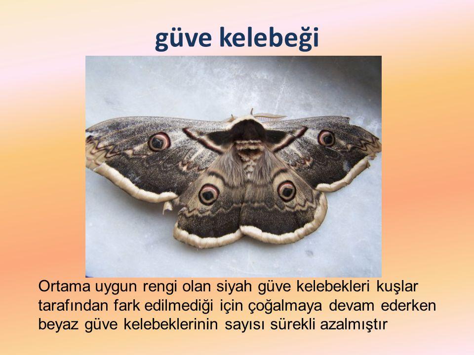 güve kelebeği Ortama uygun rengi olan siyah güve kelebekleri kuşlar tarafından fark edilmediği için çoğalmaya devam ederken beyaz güve kelebeklerinin sayısı sürekli azalmıştır