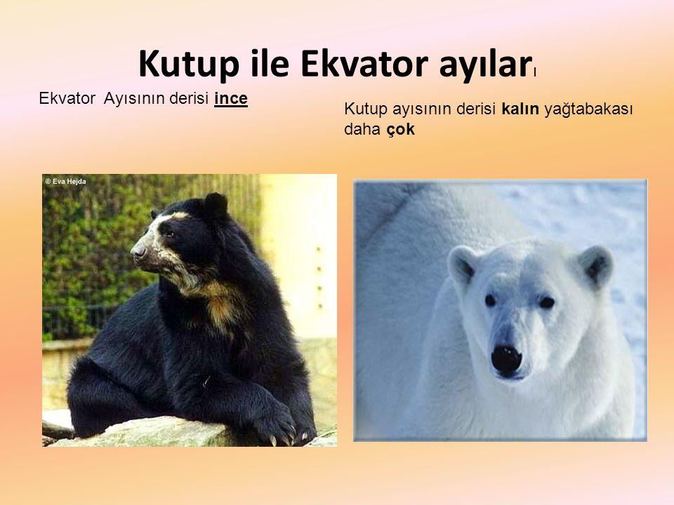 Kutup ile Ekvator ayılar ı Ekvator Ayısının derisi ince Kutup ayısının derisi kalın yağtabakası daha çok