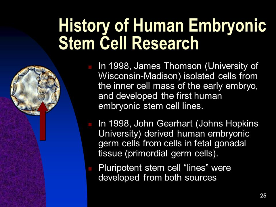 25 In 1998, James Thomson (University of Wisconsin-Madison) isolated cells from the inner cell mass of the early embryo, and developed the first human embryonic stem cell lines.