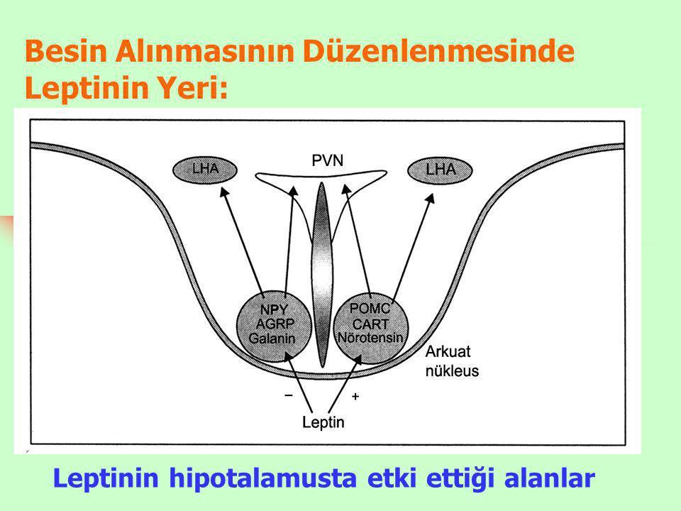 Besin Alınmasının Düzenlenmesinde Leptinin Yeri: Leptinin hipotalamusta etki ettiği alanlar