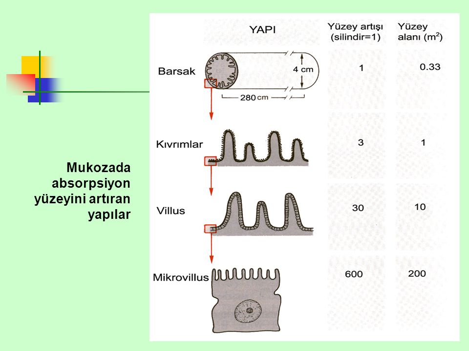 Mukozada absorpsiyon yüzeyini artıran yapılar