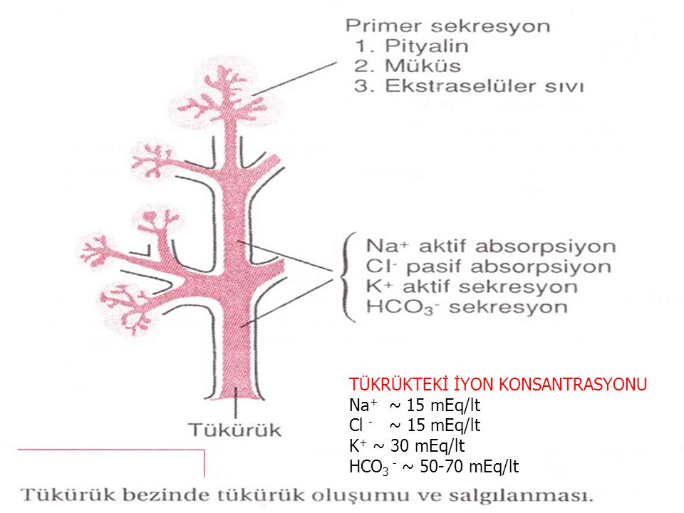 TÜKRÜKTEKİ İYON KONSANTRASYONU Na + ~ 15 mEq/lt Cl - ~ 15 mEq/lt K + ~ 30 mEq/lt HCO 3 - ~ 50-70 mEq/lt