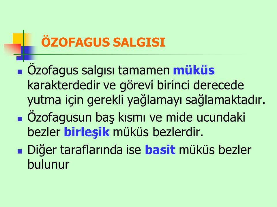 ÖZOFAGUS SALGISI Özofagus salgısı tamamen müküs karakterdedir ve görevi birinci derecede yutma için gerekli yağlamayı sağlamaktadır. Özofagusun baş kı