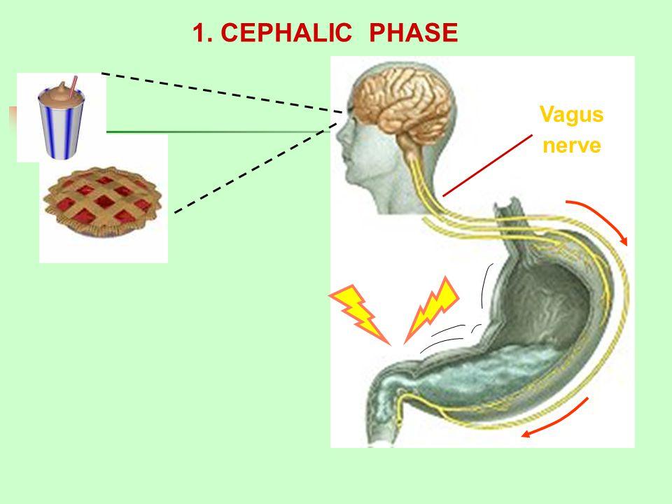 1. CEPHALIC PHASE Vagus nerve
