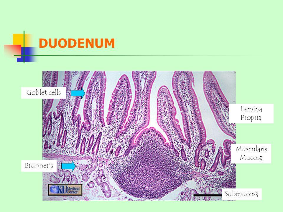 Brunner's Goblet cells Submucosa Muscularis Mucosa Lamina Propria DUODENUM