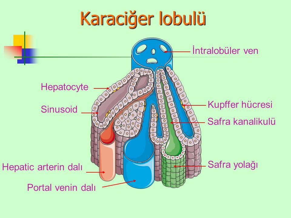 Karaciğer lobulü İntralobüler ven Sinusoid Kupffer hücresi Hepatocyte Safra kanalikulü Safra yolağı Portal venin dalı Hepatic arterin dalı