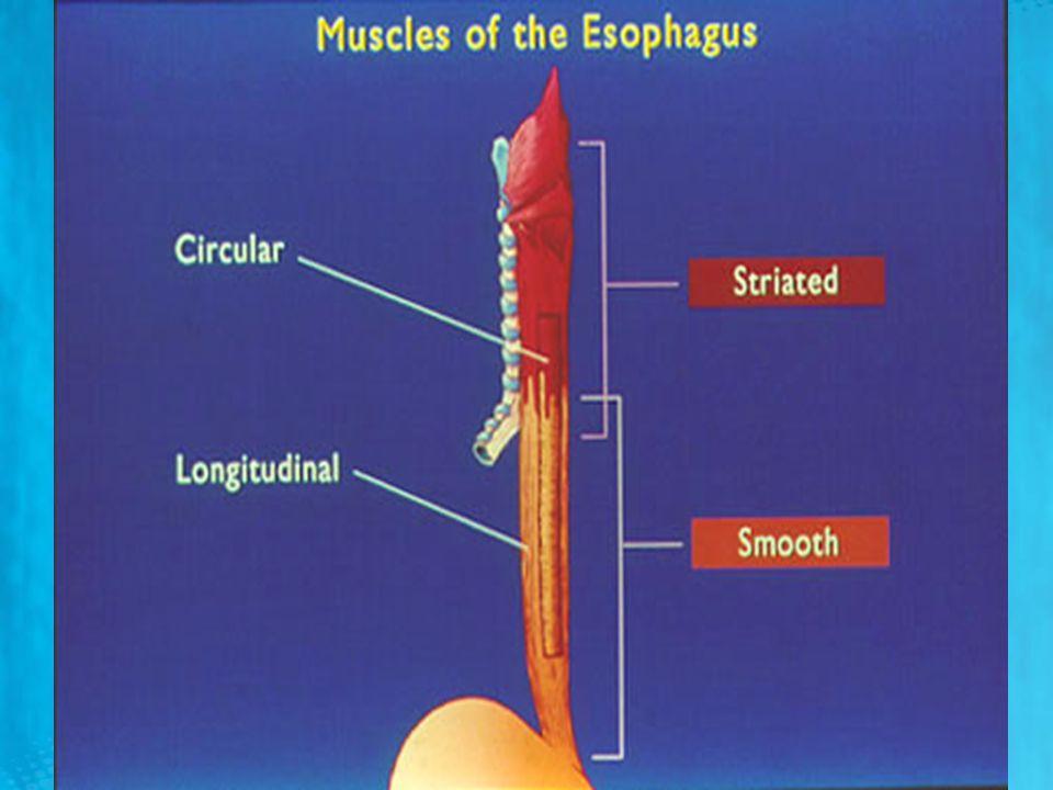 Kusma Kusma merkezi yeterince uyarılıp kusma işlemi başladığında ilk gözlenen olaylar: (l) Derin nefes alma (2) Üst özefagus sfinkterini çekerek açmak üzere larinks ve hiyoid kemiğin yükselmesi, (3) Glottisin kapanması (4) Burnun arka deliklerinin kapatılması için yumuşak damağın yükselmesi – Bunları takiben, diyafragma güçlü bir kontraksiyonla aşağı doğru inerken aynı anda tüm karın duvarı kasları kontrakte olur –Bu işlem mideyi diyafragma ile karın duvarı kasları arasında sıkıştırarak intragastrik basıncı yükseltir –Son olarak, gastrik içeriğin özofagus yoluyla yukarı atılmasını kolaylaştırmak için, alt özefagus sfinkteri tümüyle gevşer Kusma merkezi yeterince uyarılıp kusma işlemi başladığında ilk gözlenen olaylar: (l) Derin nefes alma (2) Üst özefagus sfinkterini çekerek açmak üzere larinks ve hiyoid kemiğin yükselmesi, (3) Glottisin kapanması (4) Burnun arka deliklerinin kapatılması için yumuşak damağın yükselmesi – Bunları takiben, diyafragma güçlü bir kontraksiyonla aşağı doğru inerken aynı anda tüm karın duvarı kasları kontrakte olur –Bu işlem mideyi diyafragma ile karın duvarı kasları arasında sıkıştırarak intragastrik basıncı yükseltir –Son olarak, gastrik içeriğin özofagus yoluyla yukarı atılmasını kolaylaştırmak için, alt özefagus sfinkteri tümüyle gevşer