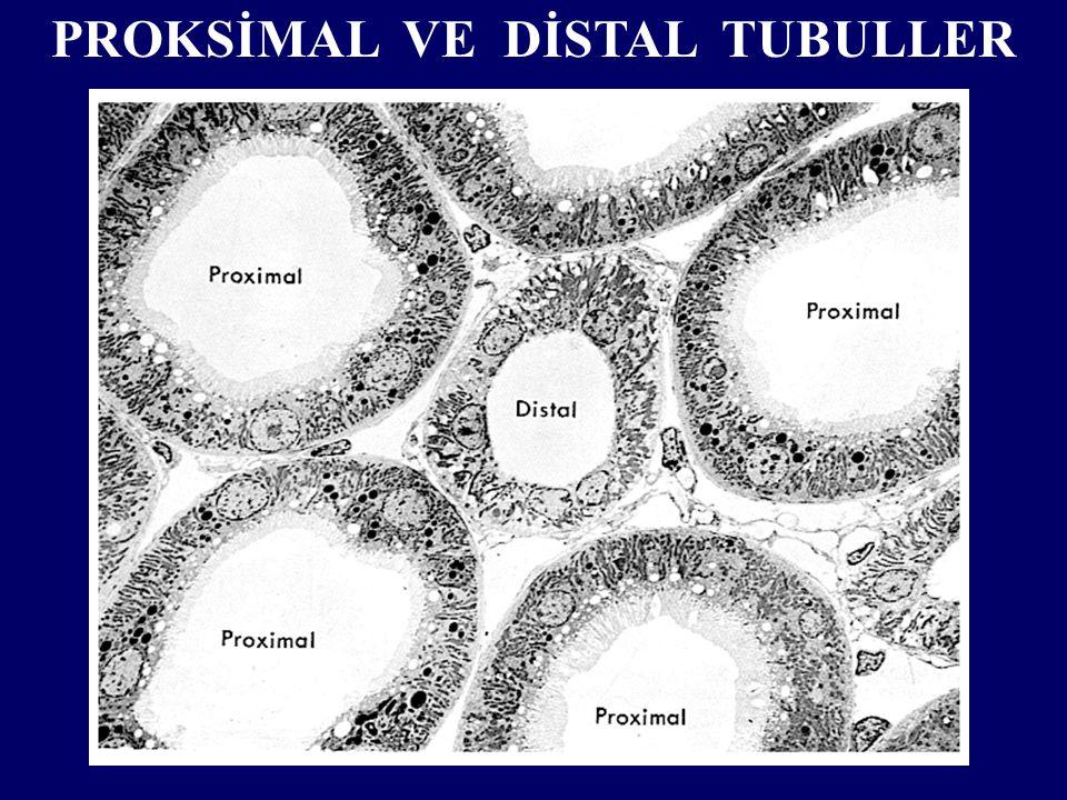 PROKSİMAL VE DİSTAL TUBULLER