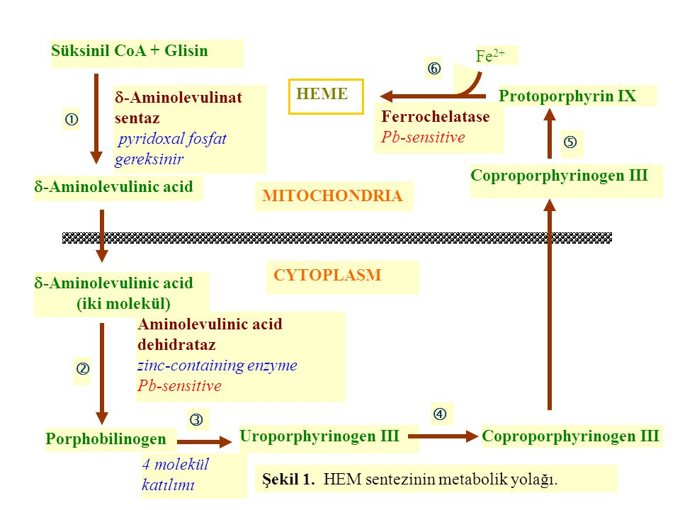 Süksinil CoA + Glisin MITOCHONDRIA CYTOPLASM Aminolevulinic acid dehidrataz zinc-containing enzyme Pb-sensitive   4 molekül katılımı Uroporphyrinoge