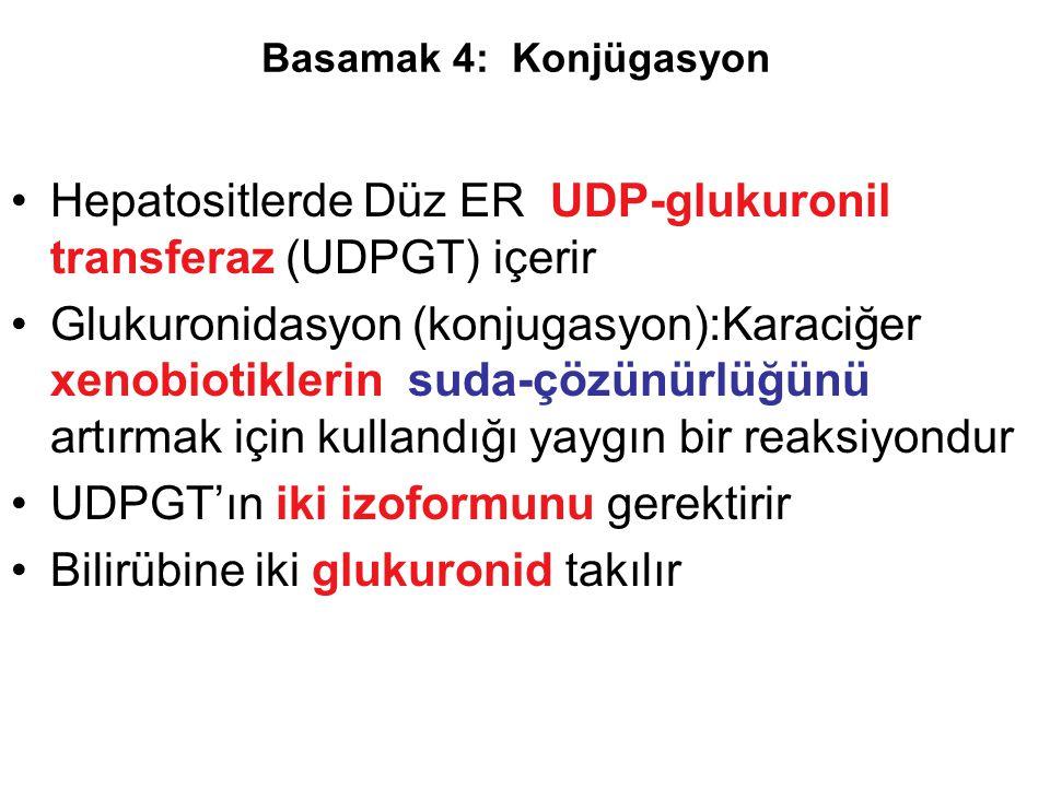 Hepatositlerde Düz ER UDP-glukuronil transferaz (UDPGT) içerir Glukuronidasyon (konjugasyon):Karaciğer xenobiotiklerin suda-çözünürlüğünü artırmak içi