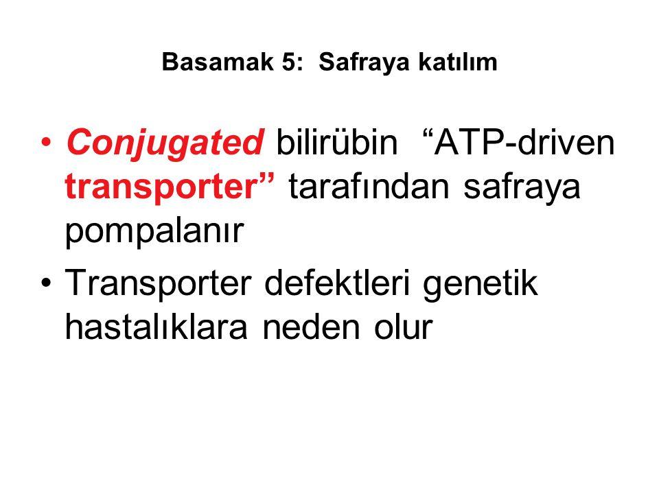 """Basamak 5: Safraya katılım Conjugated bilirübin """"ATP-driven transporter"""" tarafından safraya pompalanır Transporter defektleri genetik hastalıklara ned"""
