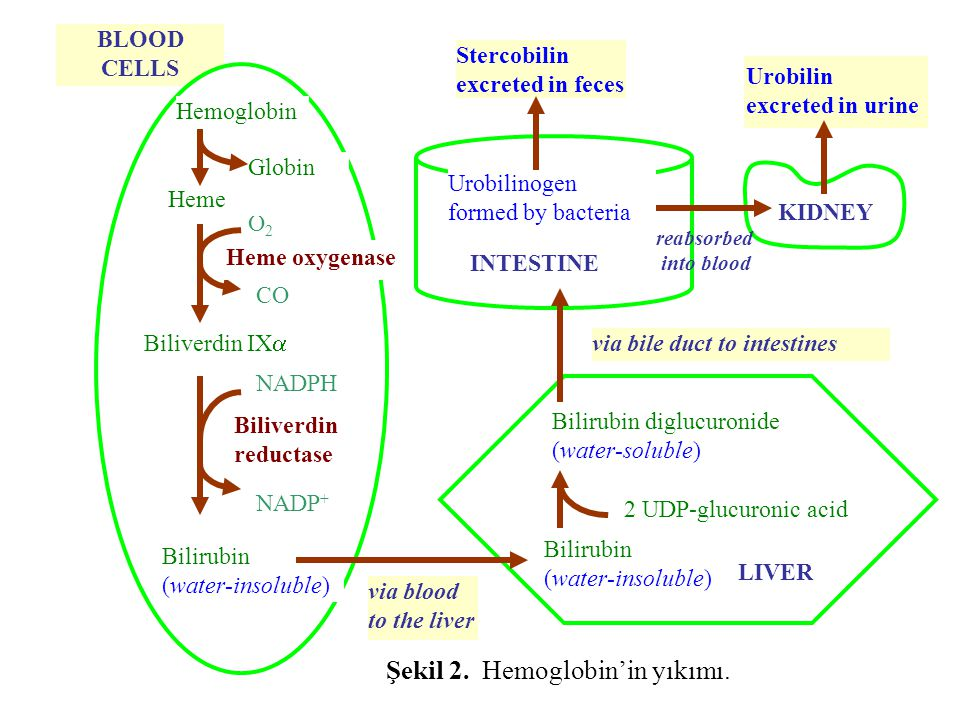 BLOOD CELLS LIVER Bilirubin diglucuronide (water-soluble) 2 UDP-glucuronic acid via bile duct to intestines Stercobilin excreted in feces Urobilinogen