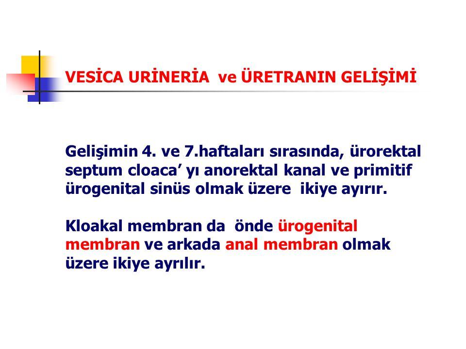 VESİCA URİNERİA ve ÜRETRANIN GELİŞİMİ Gelişimin 4.