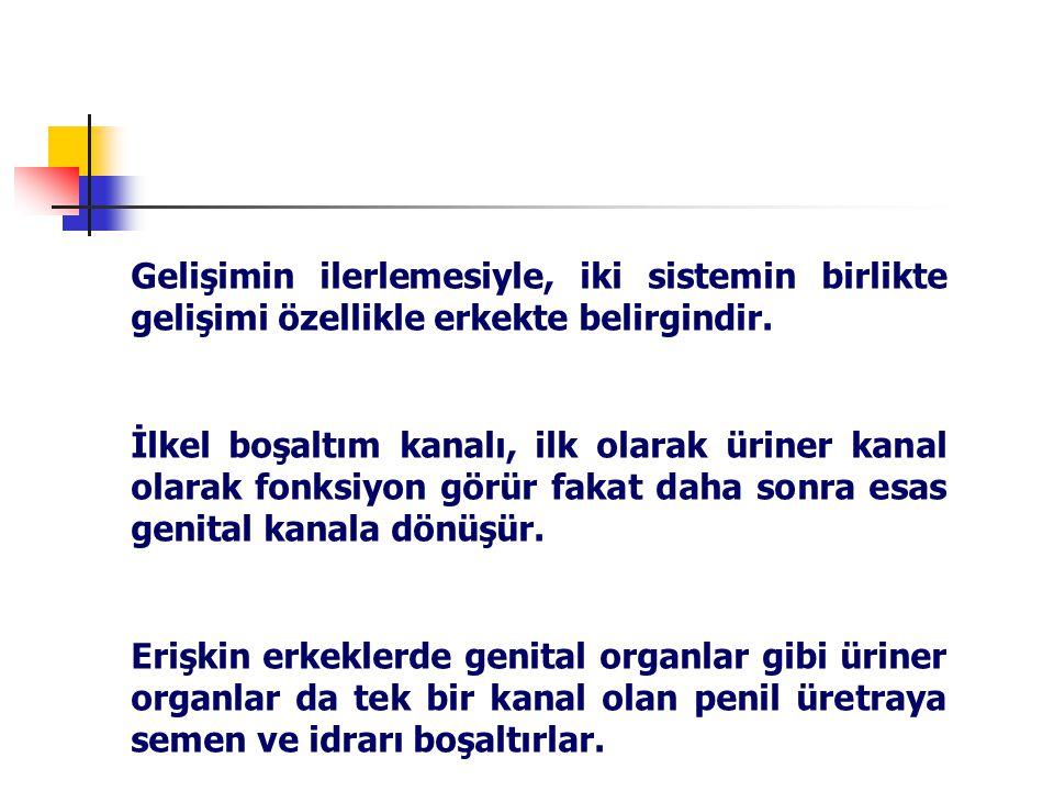İNTERMEDİET MEZODERMDE DEĞİŞİKLİKLER ( 4. HAFTA )