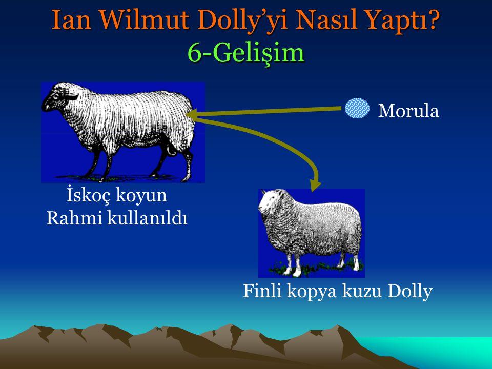 İskoç koyun Rahmi kullanıldı Morula Finli kopya kuzu Dolly Ian Wilmut Dolly'yi Nasıl Yaptı? 6-Gelişim
