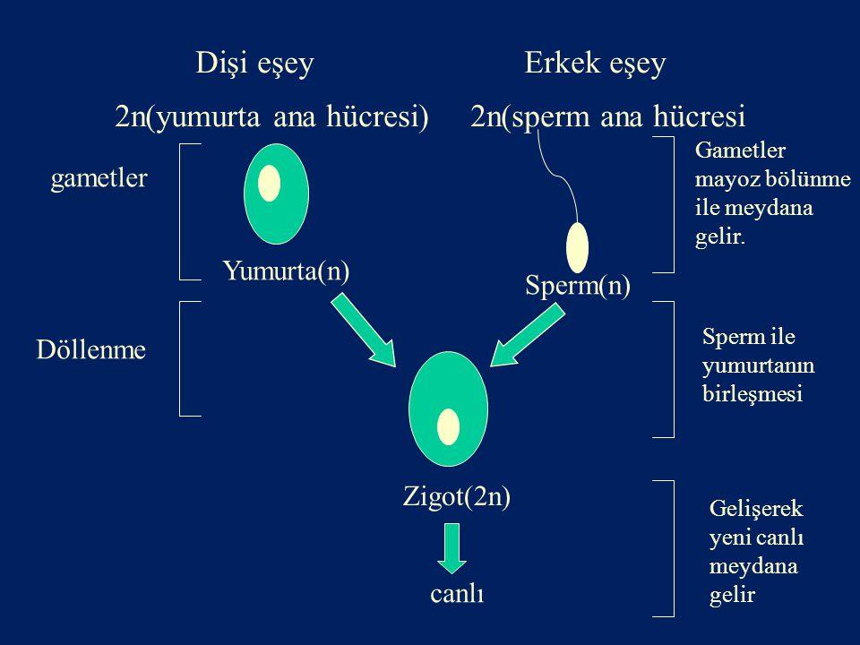 Dişi eşey Erkek eşey 2n(yumurta ana hücresi) 2n(sperm ana hücresi Zigot(2n) Yumurta(n) Sperm(n) gametler Döllenme canlı Gametler mayoz bölünme ile mey