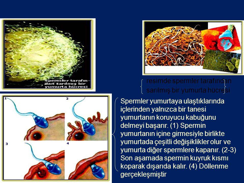 resimde spermler tarafından sarılmış bir yumurta hücresi Spermler yumurtaya ulaştıklarında içlerinden yalnızca bir tanesi yumurtanın koruyucu kabuğunu