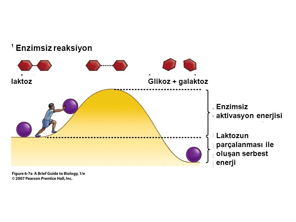 Enzimsiz reaksiyon laktoz Glikoz + galaktoz Enzimsiz aktivasyon enerjisi Laktozun parçalanması ile oluşan serbest enerji