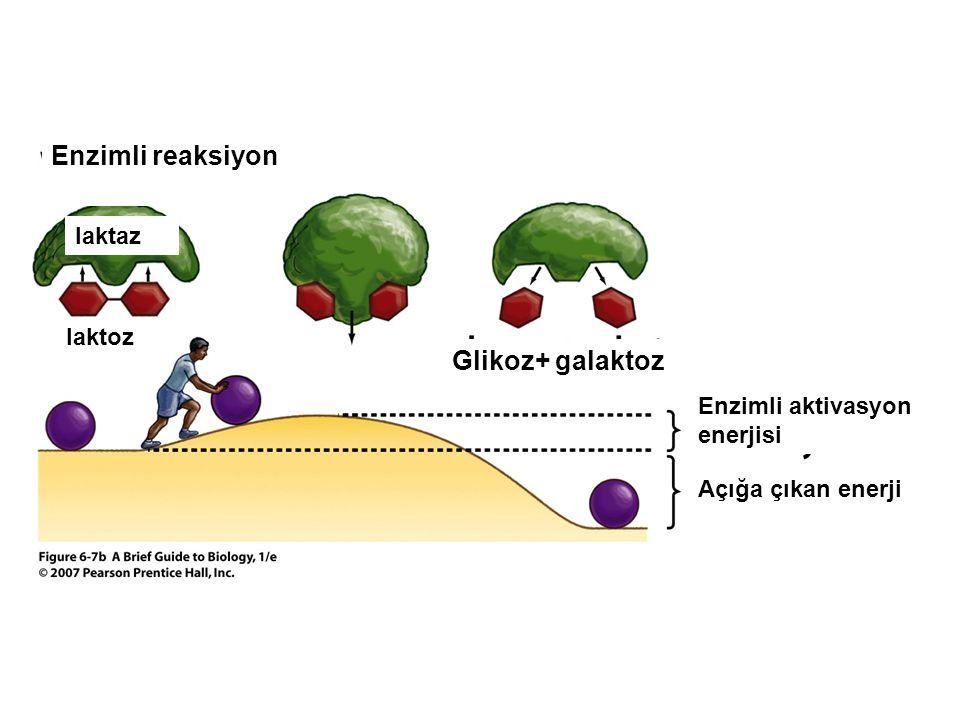 Enzimli reaksiyon Glikoz+ galaktoz Enzimli aktivasyon enerjisi Açığa çıkan enerji laktoz laktaz
