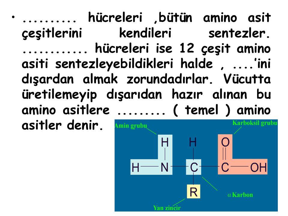 ..........hücreleri,bütün amino asit çeşitlerini kendileri sentezler.............