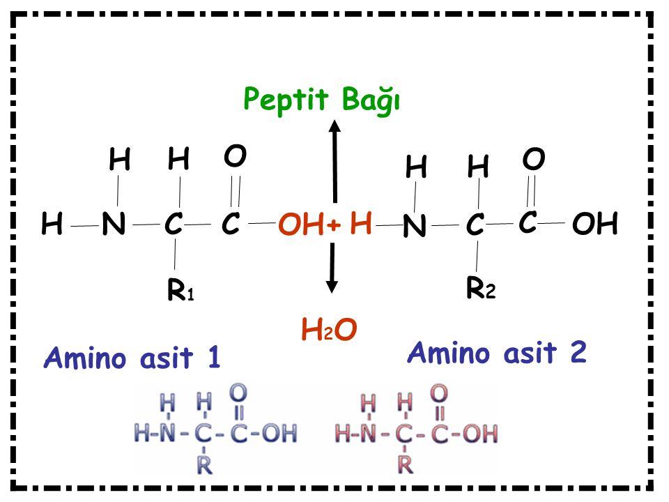 H N C C H H R1R1 OH+ O H N C C H H R2R2 O OH H2OH2O Amino asit 1 Amino asit 2 Peptit Bağı