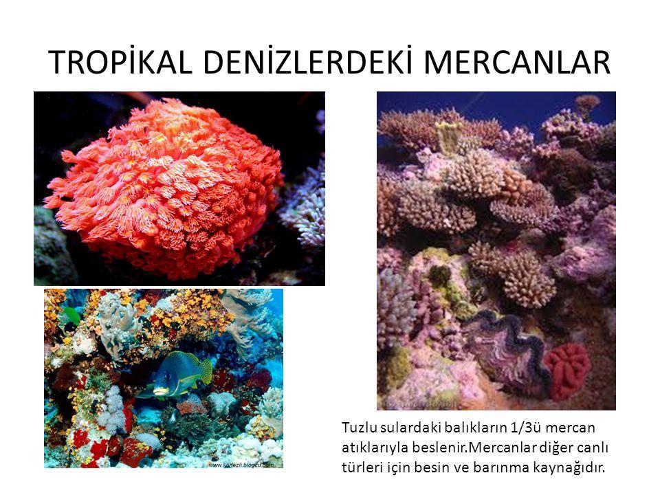 TROPİKAL DENİZLERDEKİ MERCANLAR Tuzlu sulardaki balıkların 1/3ü mercan atıklarıyla beslenir.Mercanlar diğer canlı türleri için besin ve barınma kaynağ