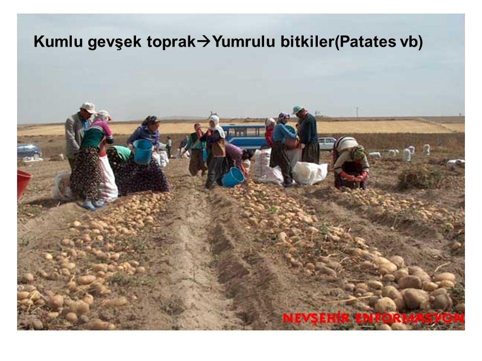 Kumlu gevşek toprak  Yumrulu bitkiler(Patates vb)