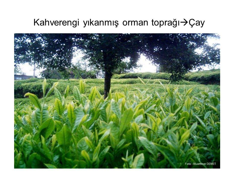 Kahverengi yıkanmış orman toprağı  Çay