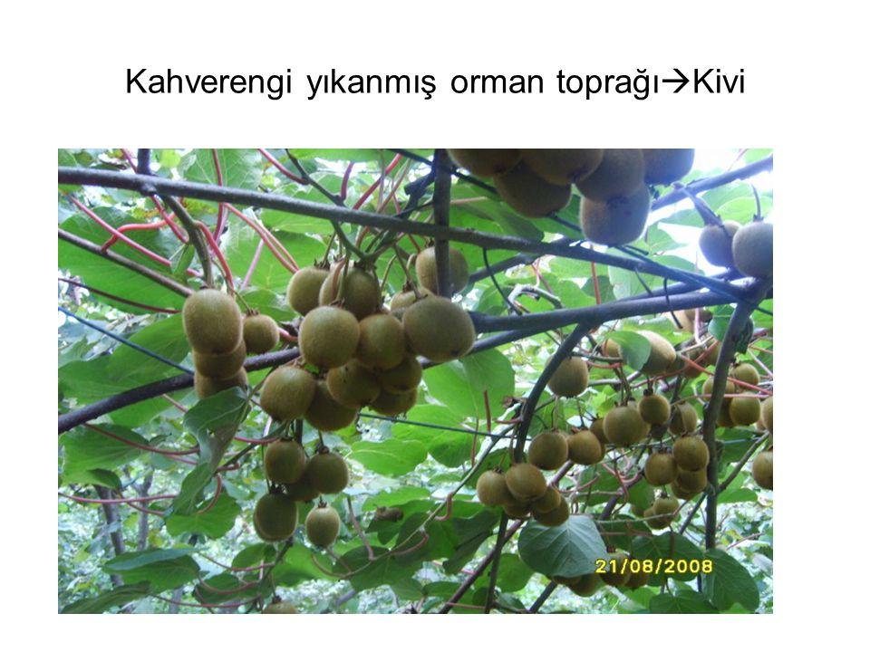 Kahverengi yıkanmış orman toprağı  Kivi