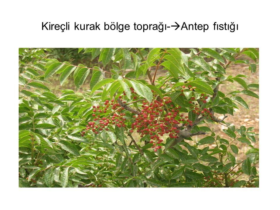 Kireçli kurak bölge toprağı-  Antep fıstığı