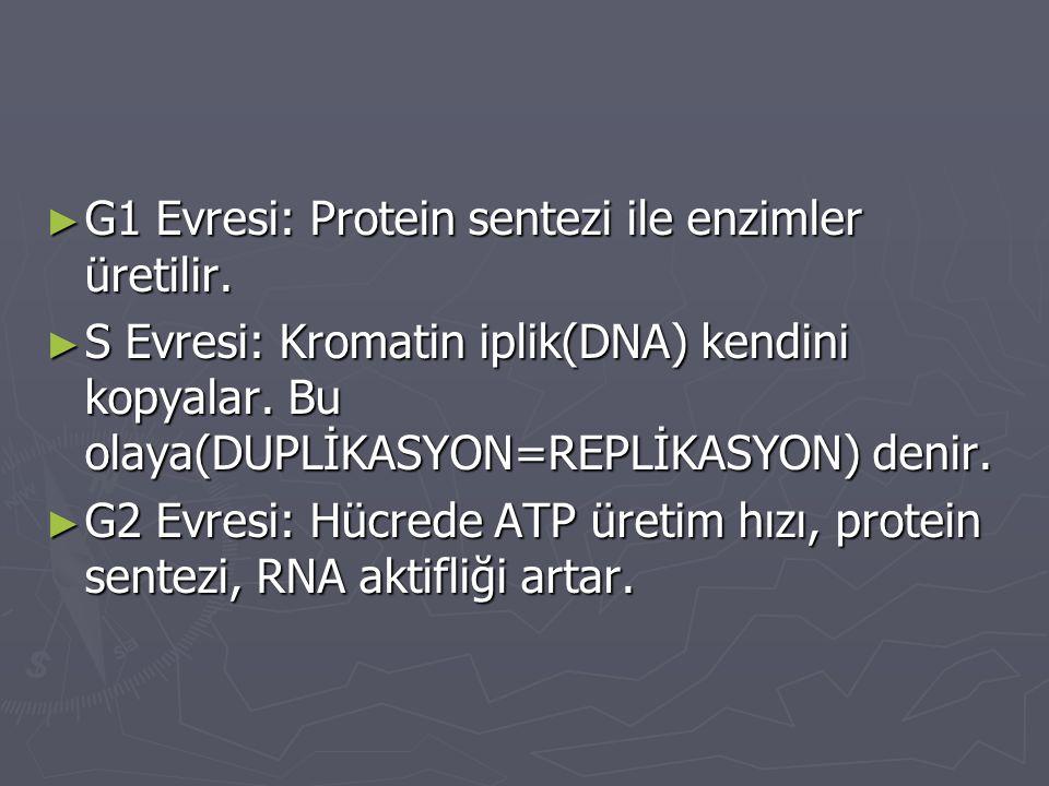 ► G1 Evresi: Protein sentezi ile enzimler üretilir. ► S Evresi: Kromatin iplik(DNA) kendini kopyalar. Bu olaya(DUPLİKASYON=REPLİKASYON) denir. ► G2 Ev