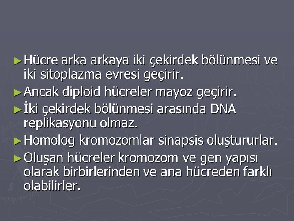► Hücre arka arkaya iki çekirdek bölünmesi ve iki sitoplazma evresi geçirir. ► Ancak diploid hücreler mayoz geçirir. ► İki çekirdek bölünmesi arasında