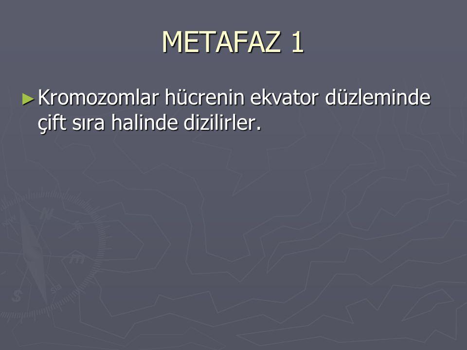 METAFAZ 1 ► Kromozomlar hücrenin ekvator düzleminde çift sıra halinde dizilirler.