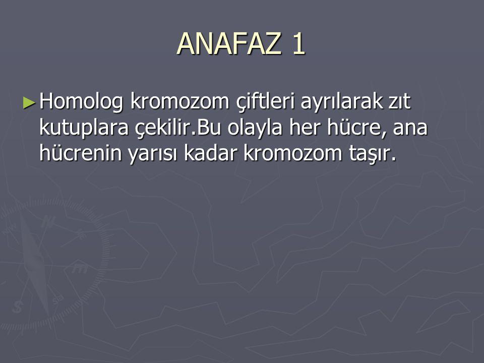 ANAFAZ 1 ► Homolog kromozom çiftleri ayrılarak zıt kutuplara çekilir.Bu olayla her hücre, ana hücrenin yarısı kadar kromozom taşır.