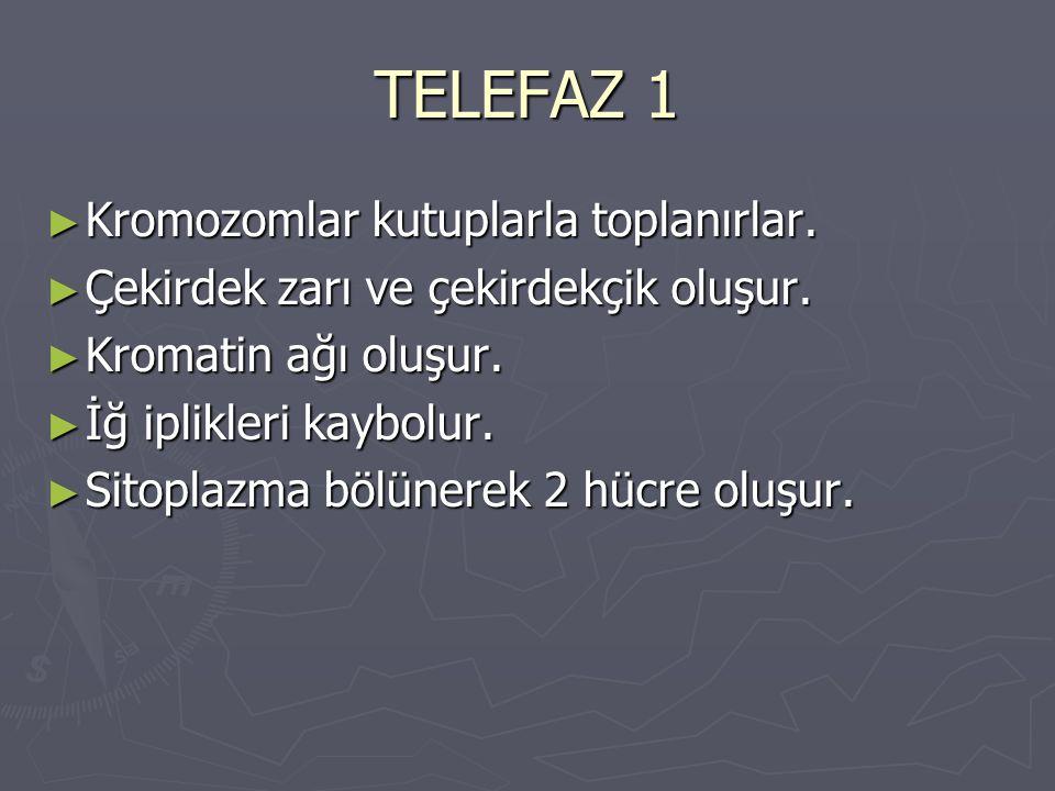 TELEFAZ 1 ► Kromozomlar kutuplarla toplanırlar.► Çekirdek zarı ve çekirdekçik oluşur.