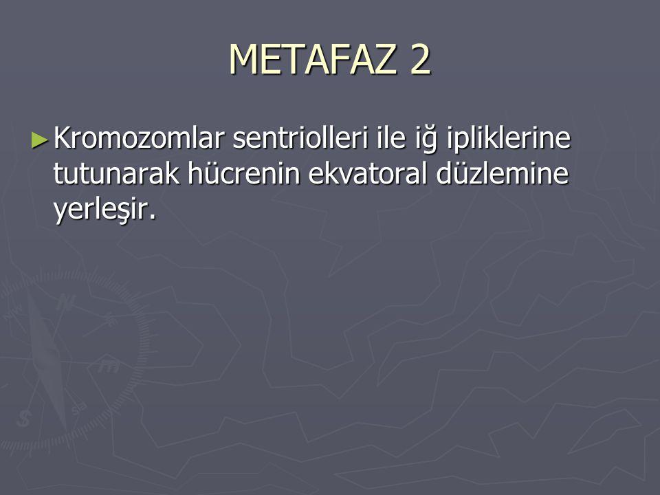 METAFAZ 2 ► Kromozomlar sentriolleri ile iğ ipliklerine tutunarak hücrenin ekvatoral düzlemine yerleşir.