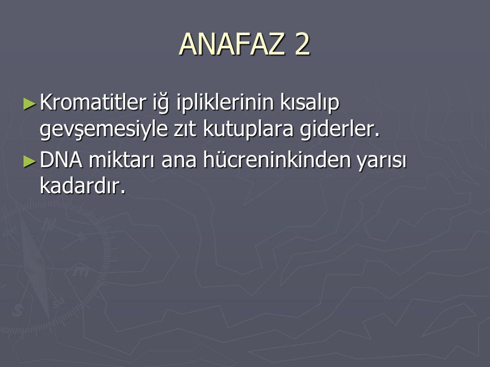 ANAFAZ 2 ► Kromatitler iğ ipliklerinin kısalıp gevşemesiyle zıt kutuplara giderler. ► DNA miktarı ana hücreninkinden yarısı kadardır.